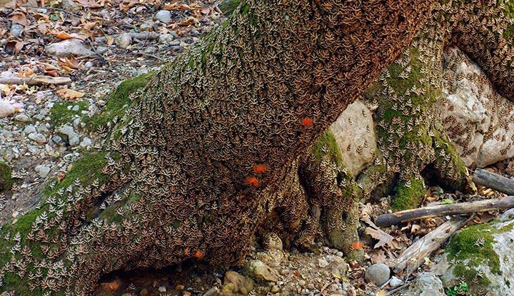 Бабочки облепили дерево.