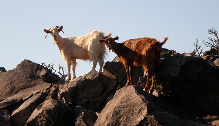 Горные козлы на Крите.