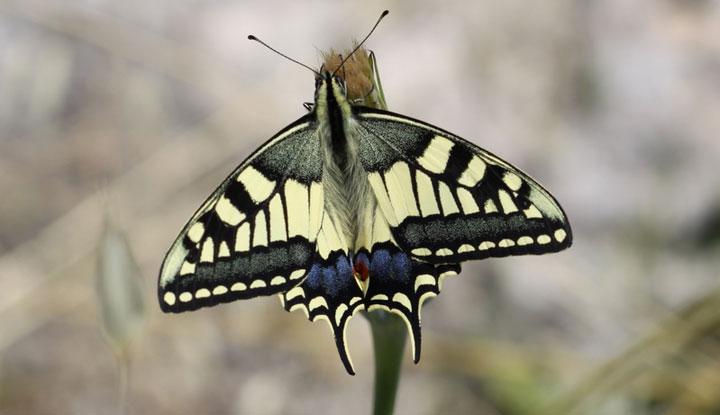 Бабочка Родоса.