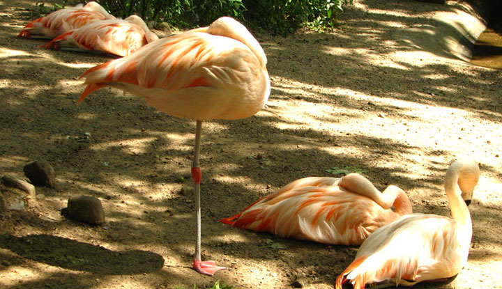 Фламинго в зоопарке на Родосе.