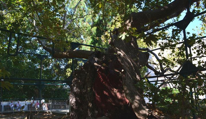 Дерево Гиппократа.