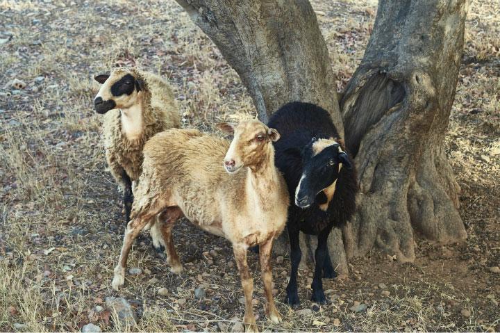 Домашние козы.