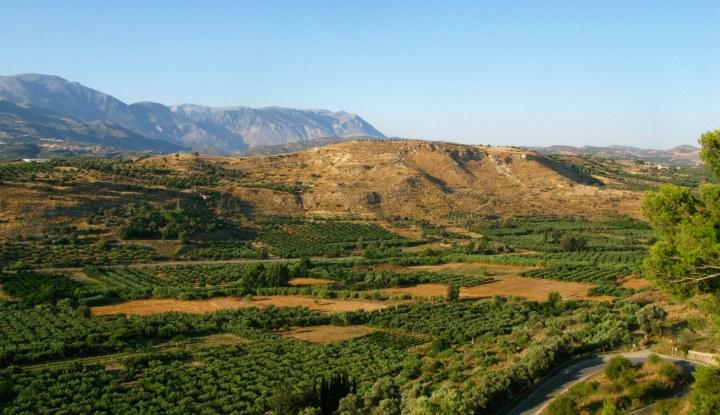 Оливковые деревья.
