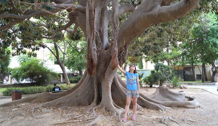 Столетнее Дерево в парке Ханьи на Крите.